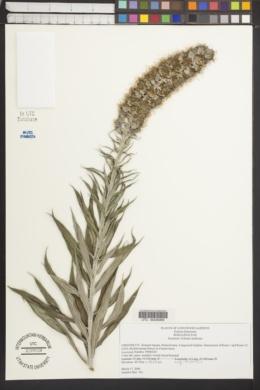 Image of Echium fastuosum