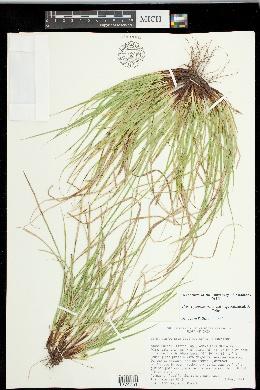 Carex juniperorum image