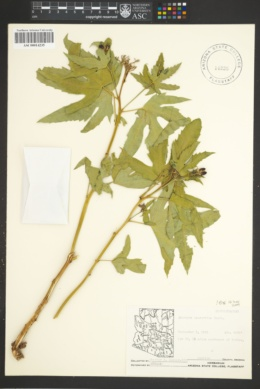 Jatropha macrorhiza image