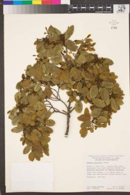 Image of Rhamnus pirifolia