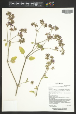 Acleisanthes chenopodioides image