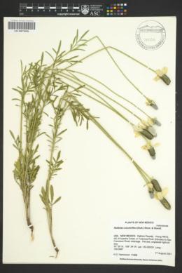 Ratibida columnifera image