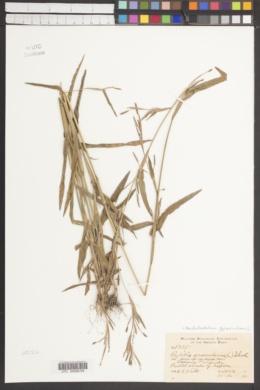 Hackelochloa granularis image