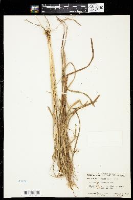 Image of Schizachyrium littorale
