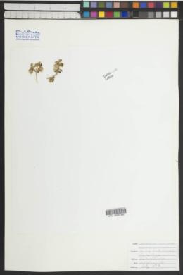 Pseudorontium cyathiferum image
