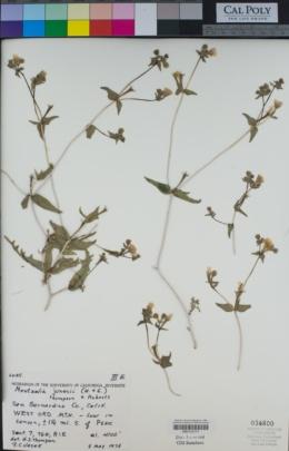 Mentzelia jonesii image