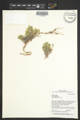 Phlox hoodii subsp. canescens image