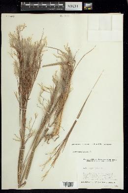 Andropogon bicornis image