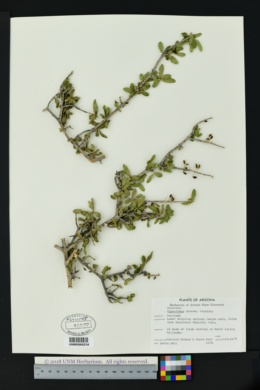 Forestiera shrevei image