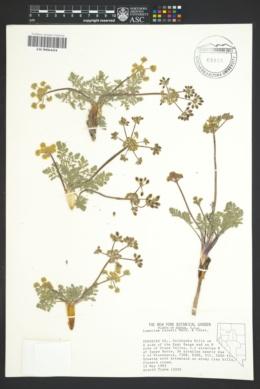 Image of Lomatium ravenii