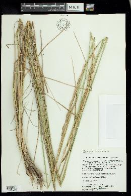 Lophopyrum elongatum image