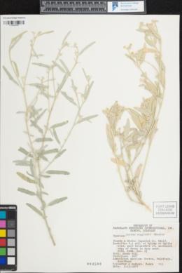 Croton wigginsii image