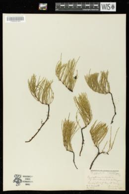Equisetum arvense f. decumbens image