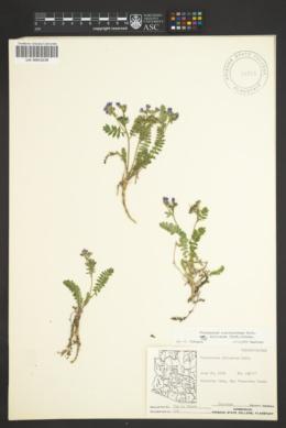Polemonium pulcherrimum subsp. delicatum image