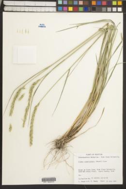 Image of Elymus scabriglumis