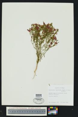 Image of Centaurium beyrichii