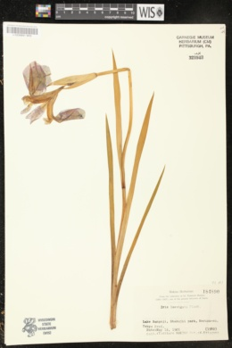 Iris laevigata image