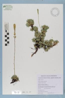 Petrophytum caespitosum image