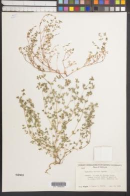 Image of Euphorbia hirtula