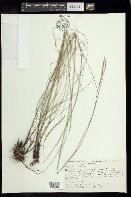 Image of Elionurus ciliaris