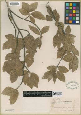 Populus monticola image
