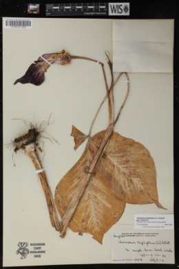 Arisaema triphyllum subsp. triphyllum image