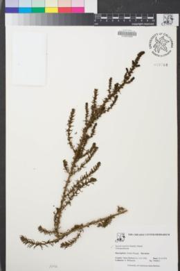 Image of Suaeda taxifolia