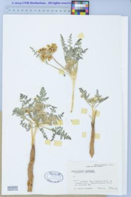 Cymopterus montanus image