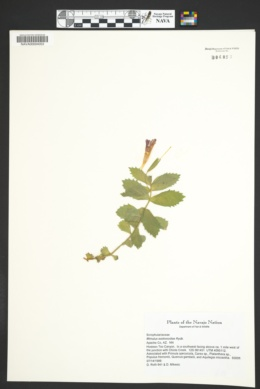 Erythranthe eastwoodiae image
