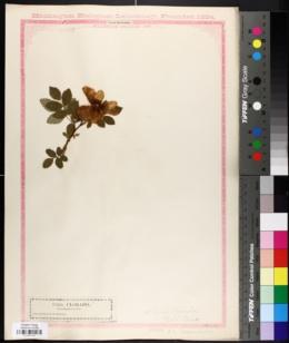 Rosa blanda image