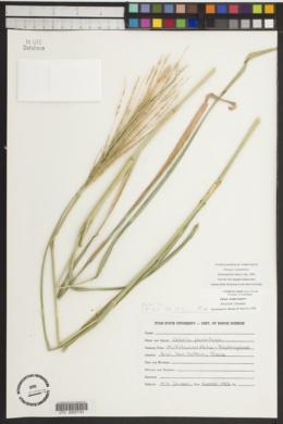 Trichloris crinita image