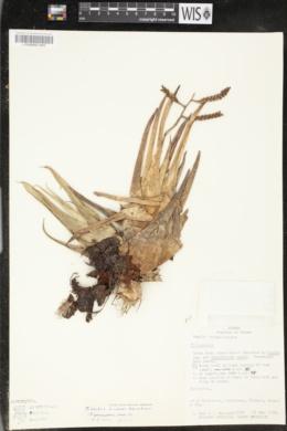 Image of Tillandsia contorta