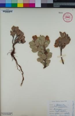 Image of Arctostaphylos tomentosa