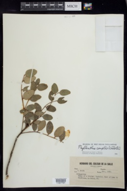 Image of Phyllanthus comptus