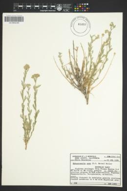 Sphaeromeria cana image