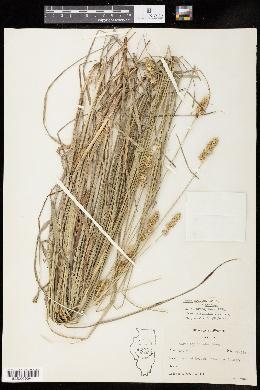 Carex gravida image