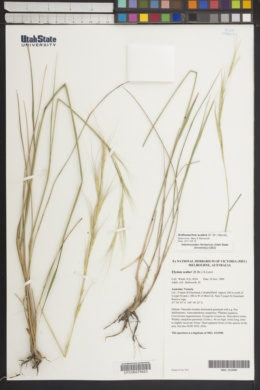 Anthosachne scabra image