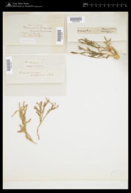 Thamnoclonium dichotomum image