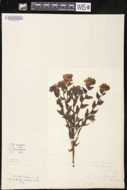 Lithospermum caroliniense image