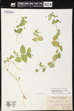 Stellaria aquatica image