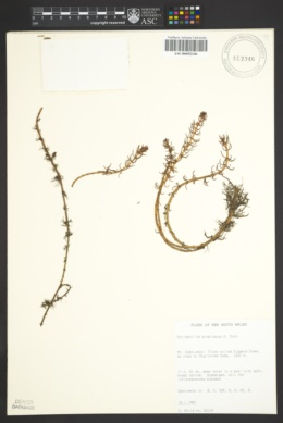 Image of Myriophyllum propinquum