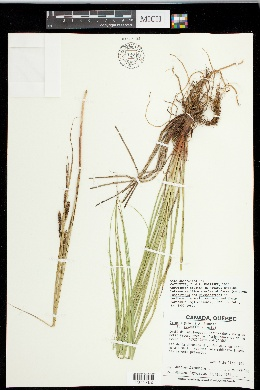 Image of Carex x grantii