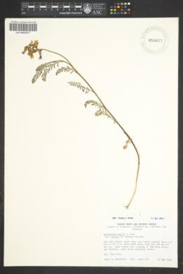 Astragalus hallii image