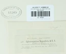 Cylindrosporium negundinis image