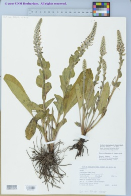 Image of Synthyris plantaginea