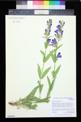 Image of Penstemon strictiformis
