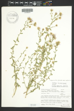 Herrickia glauca var. pulchra image