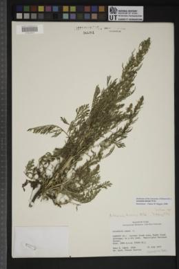 Artemisia biennis image