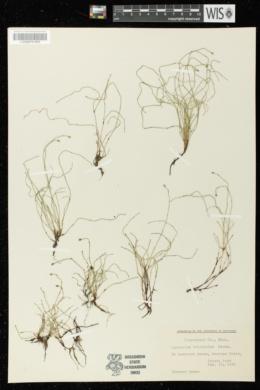 Equisetum scirpoides image