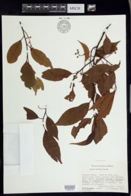 Image of Prunus rhamnoides